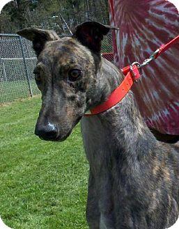 Greyhound Dog for adoption in Randleman, North Carolina - Tigger