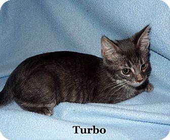 Domestic Shorthair Kitten for adoption in Bentonville, Arkansas - Turbo