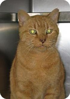 Domestic Shorthair Cat for adoption in Mineral, Virginia - Baxter C37