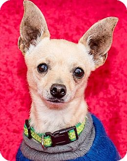 Chihuahua Dog for adoption in San Marcos, California - Ricky