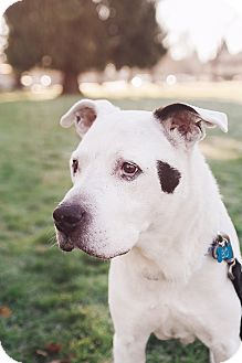 Pit Bull Terrier Mix Dog for adoption in Portland, Oregon - Bo (foster)