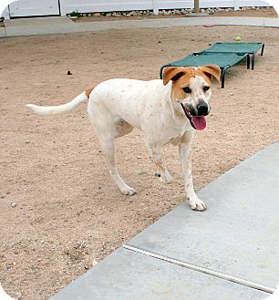 Australian Cattle Dog Mix Dog for adoption in Yucca Valley, California - Canelo Kevin Cooke