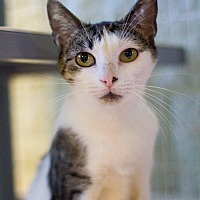 Domestic Shorthair Cat for adoption in Grayslake, Illinois - Xeraphina