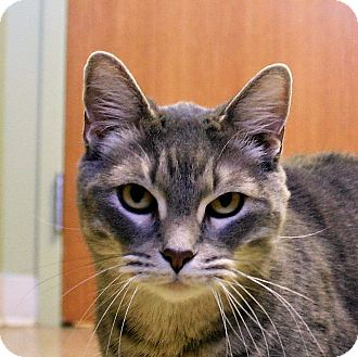 Domestic Shorthair Cat for adoption in Hastings, Nebraska - Jabez
