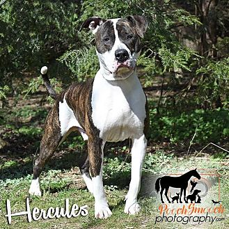 American Bulldog/American Staffordshire Terrier Mix Dog for adoption in Broadway, New Jersey - Hercules