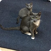 Russian Blue Cat for adoption in Salisbury, North Carolina - Mistie