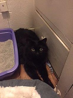 Domestic Longhair Cat for adoption in San Diego, California - Chloe