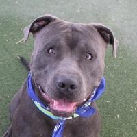 Adopt A Pet :: GRIZZLY - Las Vegas, NV