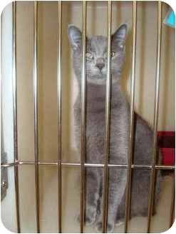 Russian Blue Cat for adoption in Nichols Hills, Oklahoma - Bluebelle
