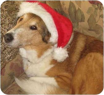 Collie Dog for adoption in Minneapolis, Minnesota - Ricky