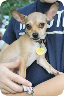 Chihuahua Mix Dog for adoption in Crosby, Texas - Amiable Dasher