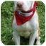 Photo 3 - American Bulldog/American Pit Bull Terrier Mix Dog for adoption in Portland, Oregon - Jersey