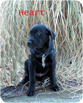 Labrador Retriever Mix Puppy for adoption in Chester, Maryland - Heart