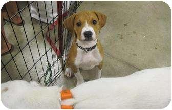 Boxer Mix Puppy for adoption in Alexandria, Virginia - Tony