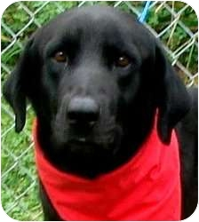 Labrador Retriever Dog for adoption in Pawling, New York - LINCOLN(WOW--PLS READ!!)