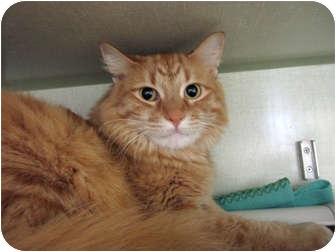 Domestic Longhair Cat for adoption in Chicago, Illinois - Shrimp