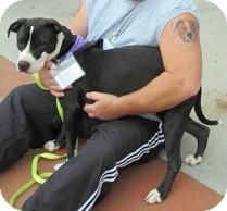 American Staffordshire Terrier Mix Dog for adoption in Smithfield, North Carolina - Heidi