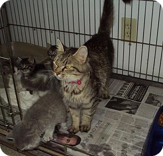 Domestic Mediumhair Cat for adoption in Mt. Vernon, Illinois - Sweet Pea