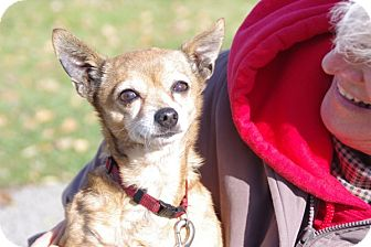 Chihuahua Mix Dog for adoption in Elyria, Ohio - Ginger