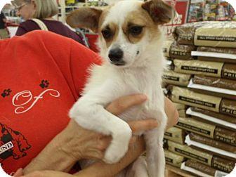 Chihuahua Mix Dog for adoption in Rocky Mount, North Carolina - Mason