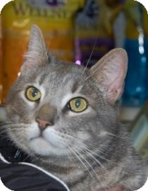 Domestic Shorthair Cat for adoption in Brooklyn, New York - Handsome