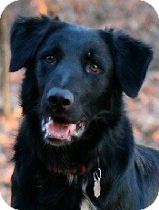 Border Collie/Flat-Coated Retriever Mix Dog for adoption in Oliver Springs, Tennessee - Toby
