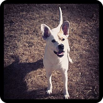 Bulldog/Corgi Mix Dog for adoption in Marietta, Georgia - Jess