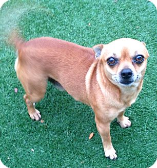 Chihuahua Mix Dog for adoption in Lake Worth, Texas - Archie