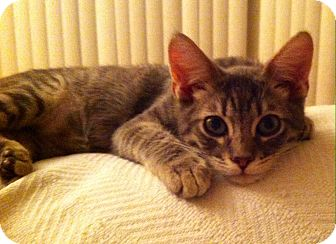 Domestic Shorthair Kitten for adoption in Los Angeles, California - Merlin