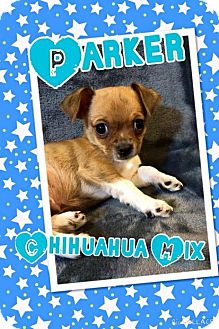 Chihuahua Mix Puppy for adoption in Rancho Cucamonga, California - Parker