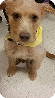Airedale Terrier/Terrier (Unknown Type, Medium) Mix Dog for adoption in Phoenix, Arizona - Henry