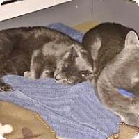 Adopt A Pet :: Smoke and Cinder - Davis, CA