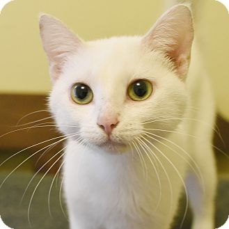 Domestic Shorthair Cat for adoption in Marietta, Georgia - Cloud