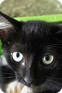 Domestic Mediumhair Kitten for adoption in Lincolnton, North Carolina - Greg  $20
