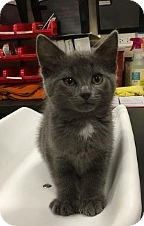 Domestic Shorthair Kitten for adoption in Chicago, Illinois - Harlow