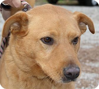 Retriever (Unknown Type)/Chow Chow Mix Dog for adoption in Lovingston, Virginia - Russ