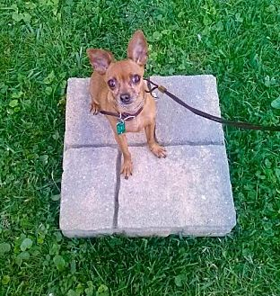 Chihuahua Dog for adoption in Spring Lake, New Jersey - Pippy