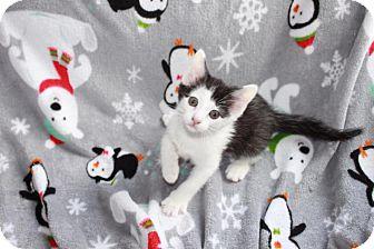 Domestic Shorthair Kitten for adoption in Union, Kentucky - Hugs