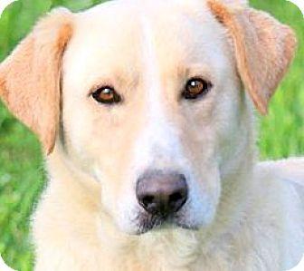 Labrador Retriever/Golden Retriever Mix Dog for adoption in Winchester, Kentucky - PACO(LOVES HIS FAMILY!!)