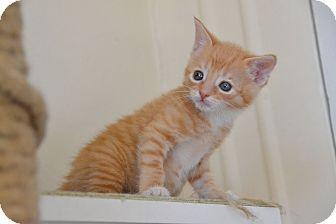 Domestic Shorthair Kitten for adoption in Brooklyn, New York - Ziggy