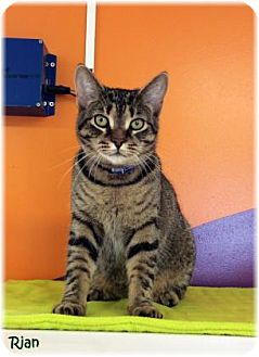 Domestic Shorthair Cat for adoption in Welland, Ontario - Rian