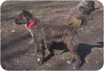 Spaniel (Unknown Type)/Boxer Mix Dog for adoption in Ortonville, Michigan - Litia