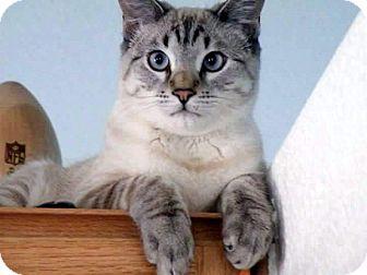 Siamese Cat for adoption in Las Vegas, Nevada - Baby