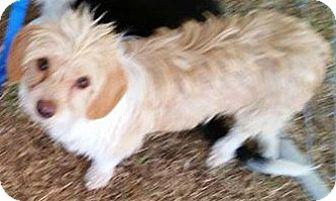 Dachshund/Poodle (Miniature) Mix Dog for adoption in Beverly Hills, California - EASTON AULDRIDGE