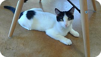 Domestic Shorthair Kitten for adoption in Lake Charles, Louisiana - Markie