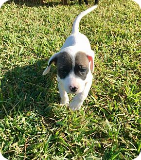 Labrador Retriever Mix Puppy for adoption in ROSENBERG, Texas - Kahuna (Jersey - Pup A)