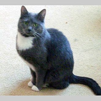 Domestic Shorthair Cat for adoption in Fishers, Indiana - Tifa