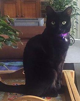 Domestic Shorthair Cat for adoption in Merrifield, Virginia - Sunshine