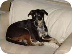 Pointer/Catahoula Leopard Dog Mix Dog for adoption in Cedar Creek, Texas - Bear