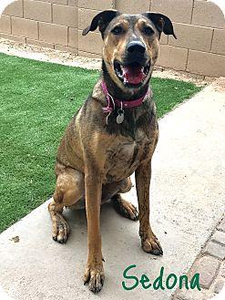 Shepherd (Unknown Type) Mix Dog for adoption in Mesa, Arizona - SEDONA 1 YR SHEPHERD FEMALE